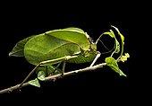 Foliage locust (Tettigoniidae), phytomimesis, shape and appearance of a leaf for camouflage, Anjozorobe National Park, Madagascar, Africa