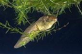 American bullfrog (Lithobates catesbeianus), tadpole under water, Iowa, USA, North America