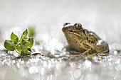 Common spadefoot (Pelobates fuscus) sits in a puddle with light reflections, Biosphere Reserve Middle Elbe, Saxony-Anhalt, Germany, Europe