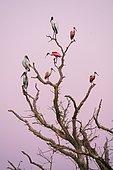 Tantales d'Amérique (Mycteria americana) et Spatules rosées (Ajaia ajaja) sur un arbre à l'aube, Pantanal, Mato Grosso, Brésil