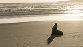New Zealand Sea Lion (Phocarctos hookeri) yawning at sandy beach, Sandfly Bay, Dunedin, Otago Peninsula, South Island, New Zealand, Oceania