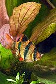 Tiger barb or Sumatra barb (Puntigrus anchisporus ; ex. Barbus tetrazona) in aquarium