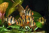 Tiger barbs or Sumatra barbs (Puntigrus anchisporus ; ex. Barbus tetrazona) in aquarium