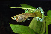 Virilization of a female Guppy treated with androgens (big caudal fin and signs of gonopod)