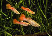 Guppy 'Flamingo Rouge' (Poecilia reticulata), mâles harcelant une femelle