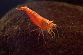 Neocaridina davidi 'Red Cherry' in aquarium