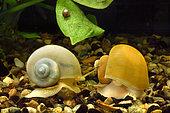 Ivory Apple snails (Pomacea bridgesii) in aquarium