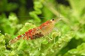 Crystal red shrimps (Caridina logemanni)