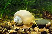 Ivory Apple snail (Pomacea bridgesii) in aquarium