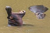 Hippo (Hippopotamus amphibius) with open mouth displaying dominance in a river, Masai Mara National Reserve, Kenya, Africa