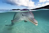 Bottlenose dolphin (Tursiops truncatus) in shallow water on the water surface, split-level image, Roatan, Bay Islands, Honduras, Central America