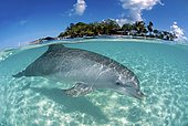 Bottlenose dolphin (Tursiops truncatus), in shallow water, split-level image, Roatan, Bay Islands, Honduras, Central America