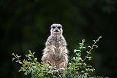 Meerkat (Suricata suricatta), captive, sitting on bush, looking out, Germany, Europe