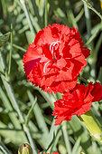 Dianthus caryophyllus 'Cancan Rose'