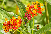 Asclepias curassavica 'Red Butterfly'