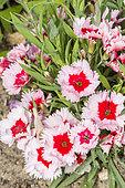 Dianthus chinensis 'Super Parfait Strawberry'