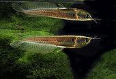 Silver arawana (Osteoglossum bicirrhosum) in aquarium