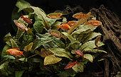 Rosy barbs (Pethia conchonius) and Cherry barbs (Puntius titteya) in aquarium