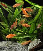 Rosy barbs (Pethia conchonius), Cherry barbs (Puntius titteya) and Fiveband barb (Desmopuntius pentazona) in aquarium