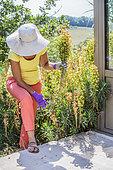 Woman cutting faded stems of Euphorbia (Euphorbia characias)
