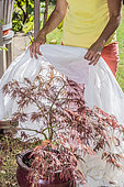 Woman protecting a Japanese potted maple, (Acer palmatum) 'Dissectum Atropurpureum', against the heat wave by posing a veil against sunburn.
