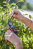 Woman practicing green pruning at the pear tree: the long shoots of the year, the wood shoots, are shortened.