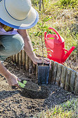 Woman planting a Chinese Prickly-ash (Zanthoxylum simulans): preparation of the planting hole.