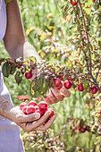 Harvest of myrobolan plums (Prunus cerasifera) for jam