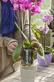 Woman checking the good draining of an orchid (Phalaenopsis sp) in her planter.