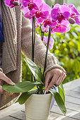 Woman bringing a stick fertilizer to a pot Phalaenopsis.