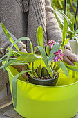 Woman watering a Cambria orchid (Odontoglossum sp) by soaking