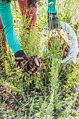Mulching of perennial flowers in a bed with pine bark, in spring.