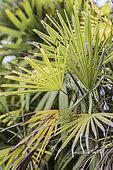 Excès de lumière sur un palmier bambou d'intérieur (Rhapis humilis) : décoloration du feuillage et brûlure des extrémités.