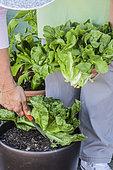 Harvest of potato-flavored salad (chicory)