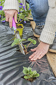 Strawberry planting on plastic mulch film, in three stages.