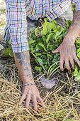 Dégagement de paillis autour d'un navet cultivé sur paillis en permaculture.