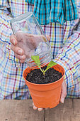 Cutting of the hydrangea to the smothered. Jar placed on a Hydrangea spike (Hydrangea sp) to encourage it to take root in a humid atmosphere.