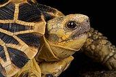 Burmese star tortoise (Geochelone platynota)