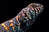 Ornate spiny-tailed lizard (Uromastyx ornata ornata)