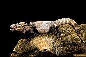 San Esteban iguana (Ctenosaura conspicuosa)