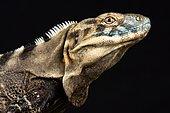 Sonoran Spiny- tailed Iguana (Ctenosaura macrolopha)