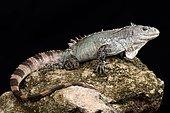 Utila iguana (Ctenosaura bakeri)