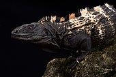 Roatan Spiny-tailed Iguana (Ctenosaura oedirhina)