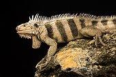 Saint Lucia horned iguana (Iguana iguana sanctaluciae)
