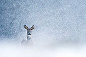 Roebuck (Capreolus capreolus) in the snow, Slovakia