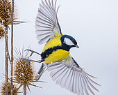 Great tit (Parus major) beginning of the flight, Slovakia