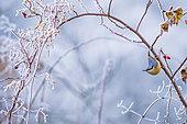 Sittelle torchepot (Sitta europaea) en hiver, Slovaquie