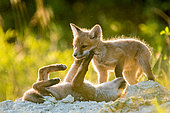 Red fox (Vulpes vulpes) young playing in afternoon, Slovakia