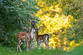 Fallow deer (Dama dama) female and young in morning lights, Slovakia