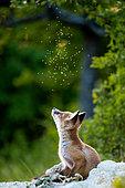 Renard roux (Vulpes vulpes) jeune regardant des moucherons en vol, Slovaquie